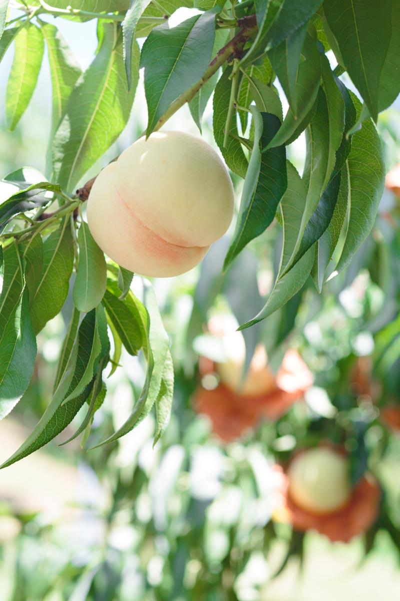 おかやまの清水白桃1.5キロ 特選5玉入り【送料込】