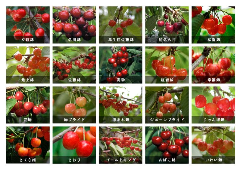 さくらんぼ紅秀峰+幸福錦1600gセット(200g×8パック)