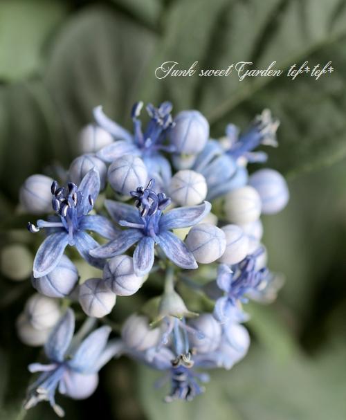 常緑!原種系・常山紫陽花 『碧の瞳』