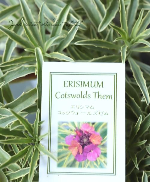 【花後価格】斑入りチェイランサス 『コッツウォールドゼム』 エリシマム