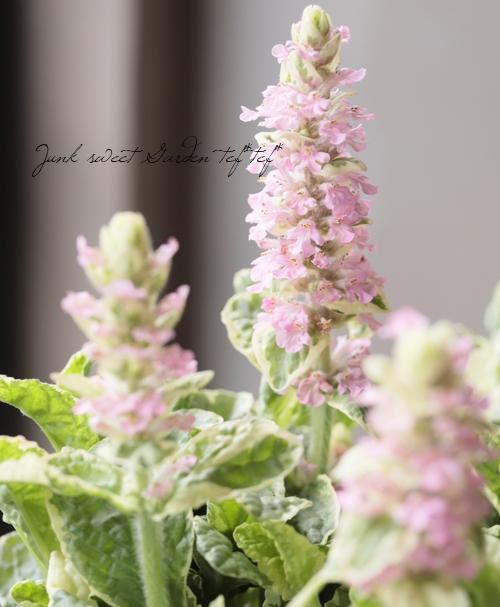 アジュガ 『バニラチップ』 ピンク花