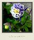 【花後価格】西洋オダマキ 『ビジュー・サフィール』