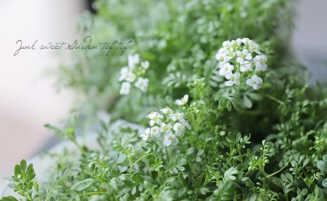 フチンシア・アルピナ 『アルプスのお花畑』