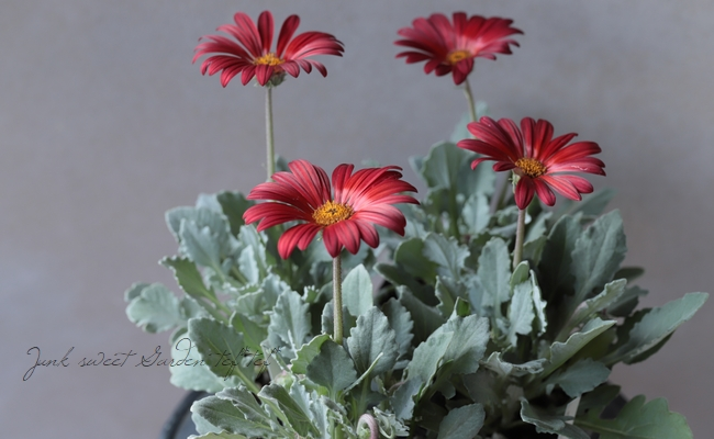 大人の赤黒花 アークトチス 『ダーク・レッドカラー』