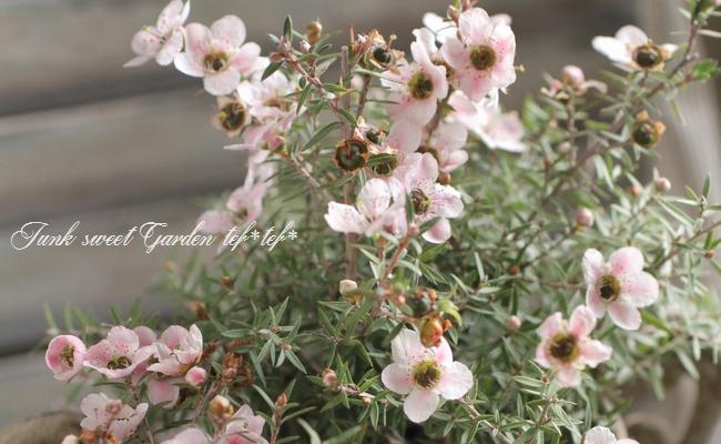 ギョリュウバイ 『さくら』 寒さに強い常緑花木