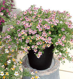 <i>Jamesbrittenia spp</i><BR><BR>ジャメスブリタニア<BR>べリンダ『ムードピンク』