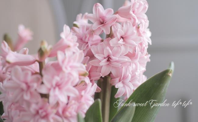 ヒヤシンス ゴージャス八重咲き 『ピンク』