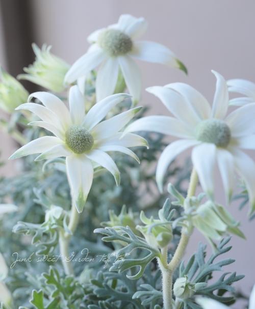 フランネルフラワー 『エンジェルスター』 四季咲き性強