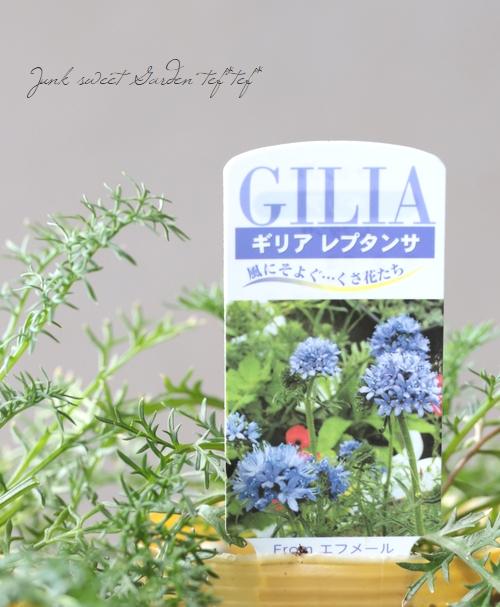 ギリア  『レプタンサ』 開花前小苗