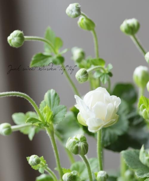 秋明菊 『八重咲きホワイト』 シュウメイギク