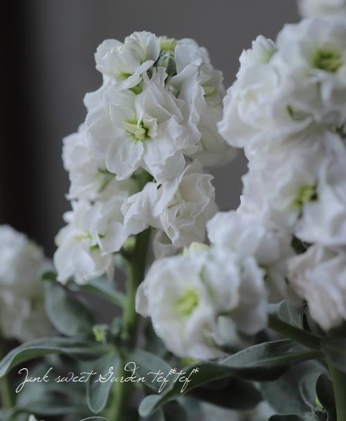 八重咲きストック 『ハイダブルホワイト』