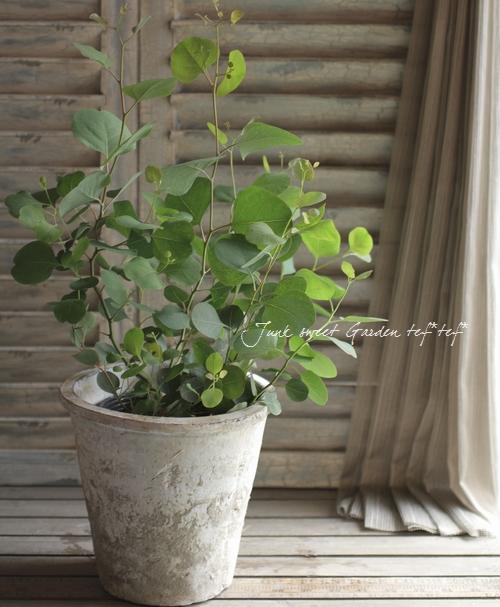室内 ユーカリ 虫よけになる観葉植物ユーカリ!自宅で育ててみよう