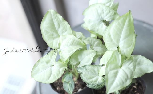 【観葉植物】 シンゴニウム 『ホワイトバタフライ』