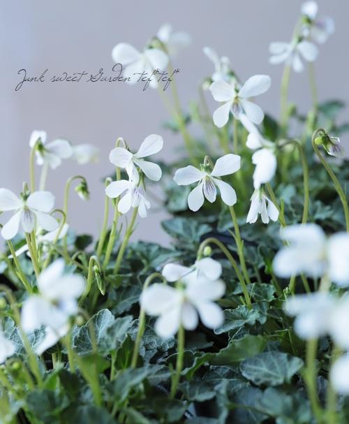 四季咲きスミレ 『八重山屋久島スミレ』