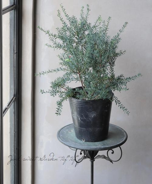 【常緑針葉樹】 タスマニア・マキ 『ブルージャム』