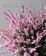 【花後価格】八重咲きカルーナ No.F