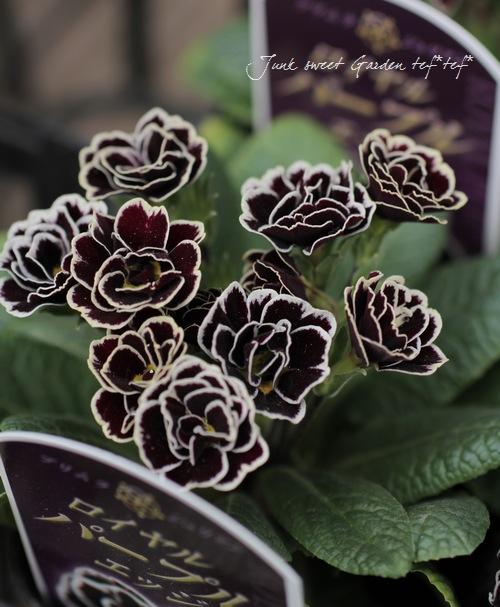 八重咲きプリムラ・ジュリアン 『ロイヤルパープルエッジ』