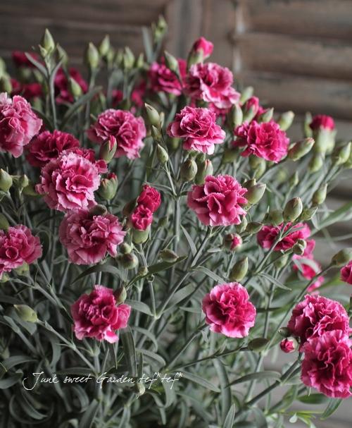 Dianthus caryophyllus<BR><BR>カーネーション<BR>『パーティドレス』