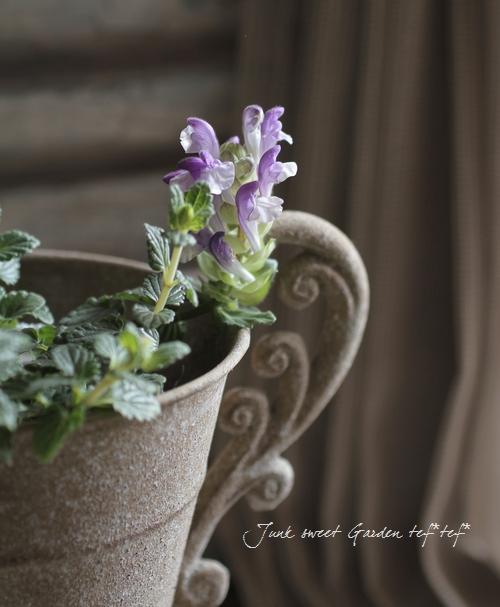 Scutellaria alpina<BR>スクテラリア・アルコバレノ<BR>和名・立浪草<BR>ブルー