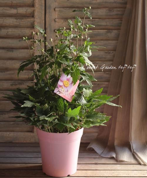 秋明菊 -シュウメイギク-  『ももいろブーケ』 大和園オリジナル品種