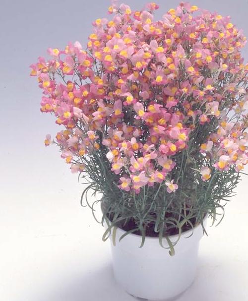 <i>Linaria ×maroccana</i><BR><BR>ヒメキンギョソウ(姫金魚草)<BR>グッピーシリーズ<BR>『ピンクwithイエローアイ』