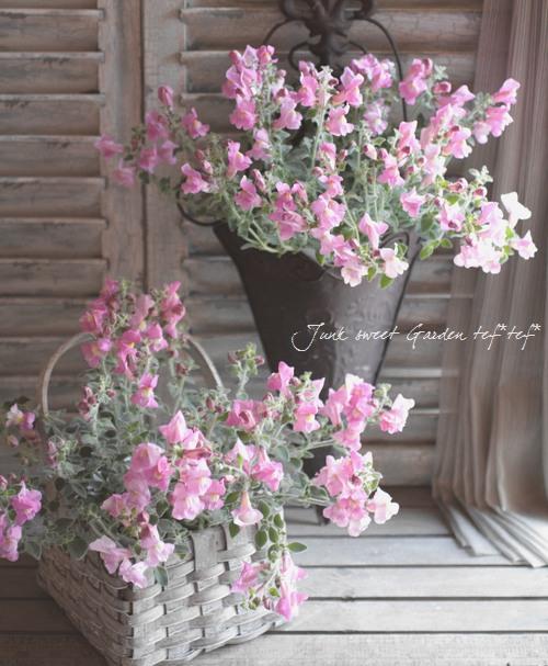 <i>Antirrhinum pulverulentum</i><BR><BR>シルバーリーフの優しい色合い<BR>這性キンギョソウ<BR>『シルバーピンク』