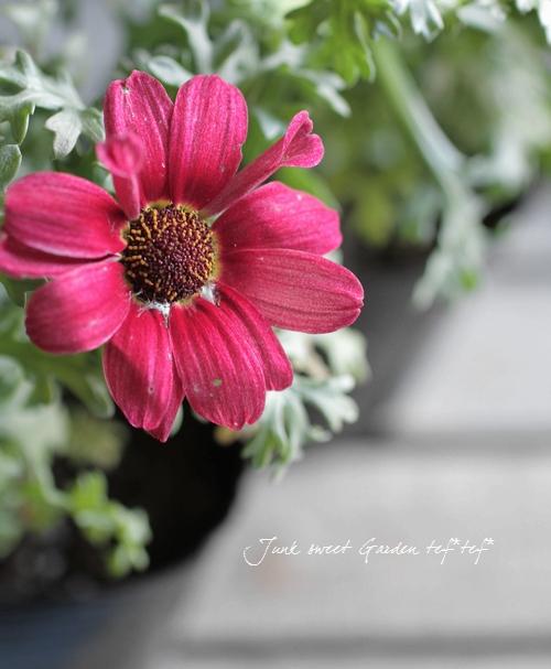 <i>Chrysanthemum frutescens</i><BR><BR>変わり咲きマーガレット<BR>『ガーネットクイーン』