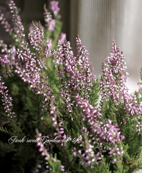 <i>Calluna vulgaris</i><BR><BR>カルーナ『ガーデンガールズ』<BR>『グリーン×ピンクパープル花』 B