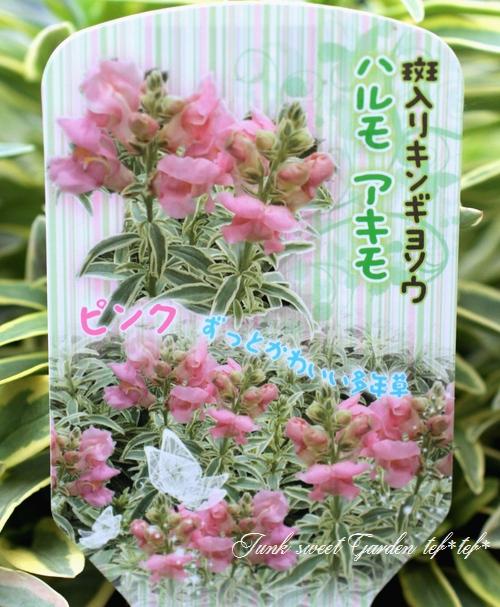 <i>Antirrhium majus</i><BR><BR>斑入りキンギョソウ<BR>『ハルモアキモ・ピンク』