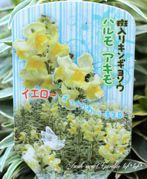 <i>Antirrhium majus</i><BR><BR>斑入りキンギョソウ<BR>『ハルモアキモ・イエロー』