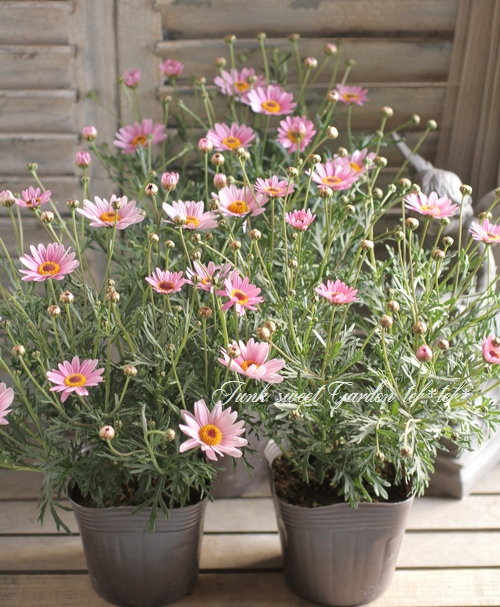 <i>Argyranthemum frutescens</i><BR><BR>マーガレット<BR>ハニービーシリーズ<BR>『ライトピンクダークアイ』