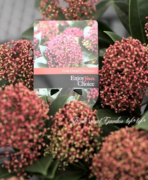 <i>Skimmia japonica</i><BR><BR>耐寒性常緑低木<BR>新品種!スキミア<BR>『ピンクドワーフ』