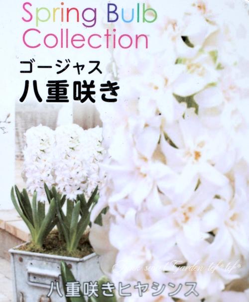 ヒヤシンス ゴージャス八重咲き 『ホワイト』