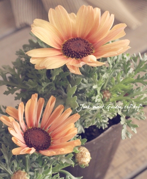 <i>Chrysanthemum frutescens</i><BR><BR>変わり咲きマーガレット<BR>『ピーチクイーン』