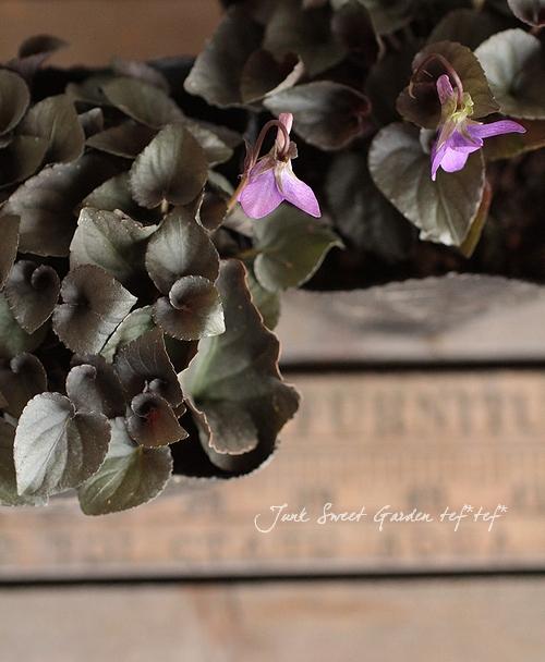 黒葉ビオラ 『ラブラドリカ・スミレ』 宿根で毎年楽しめる