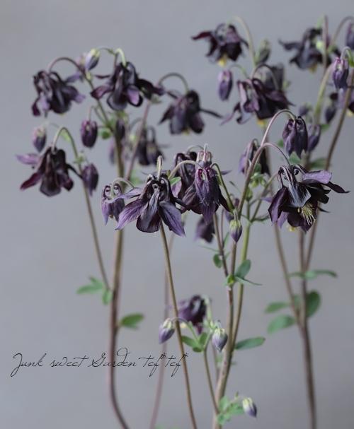 八重咲きオダマキ 『ブラックパール』