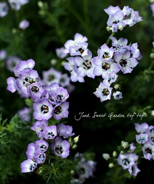ギリア 『トリコロール』 草丈高め開花中