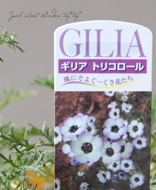 ギリア 『トリコロール』 開花前小苗