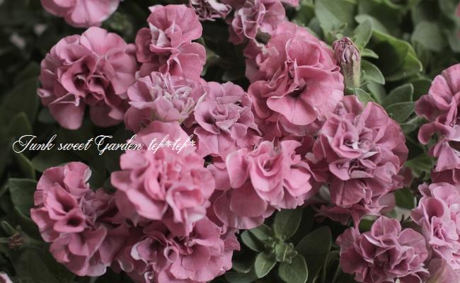 八重咲きペチュニア 『ホイップマカロン』 フランボワーズ