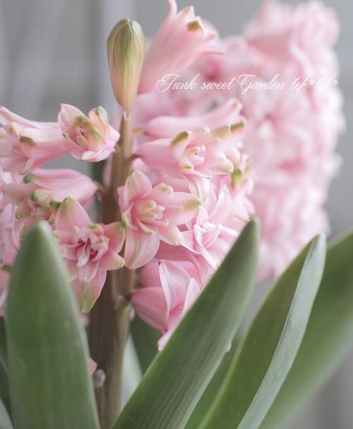 ヒヤシンス ゴージャス八重咲き 『ピンク』 3球植え