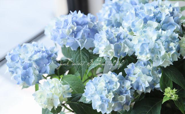 【吉岡麗子さん】てまり咲き紫陽花 『てててまり』 ブルー
