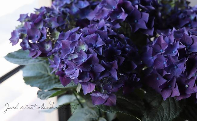 秋色紫陽花品種 『ディープパープル』