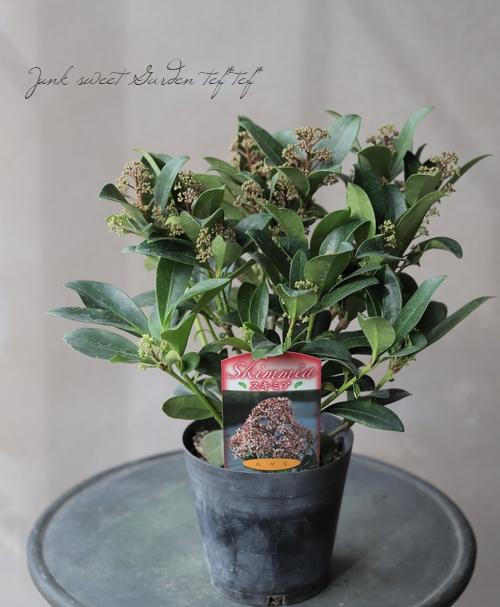 耐寒性常緑低木 スキミア 『ルベラ』