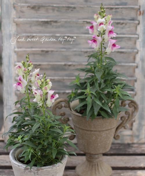 <i>Antirrhinum majus</i><BR><BR>素敵な花色!キンギョソウ<BR>『グラデーションカラー』