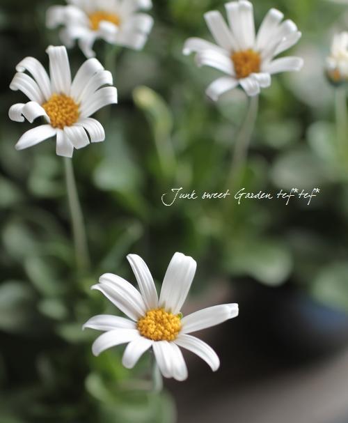 <i>Felicia</i><BR><BR>宿根草!白花品種<BR>『ホワイトデージー』