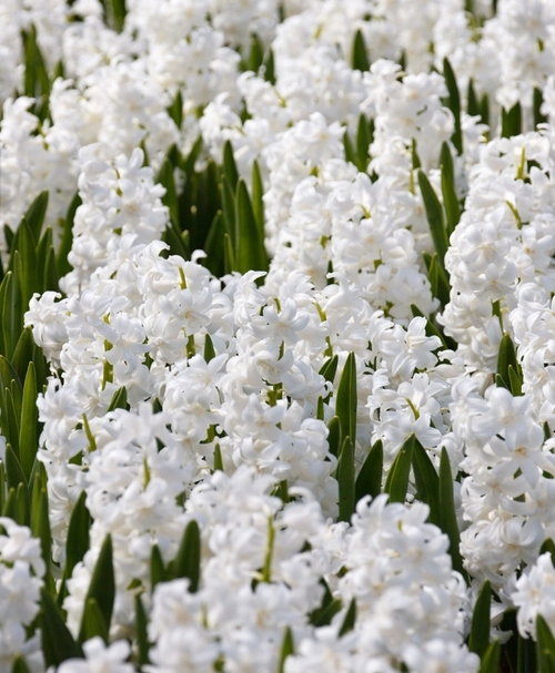 <i>Hyacinthus orientalis</i><BR><BR>芽だし球根3球植え<BR>『ヒヤシンス』【ホワイト】