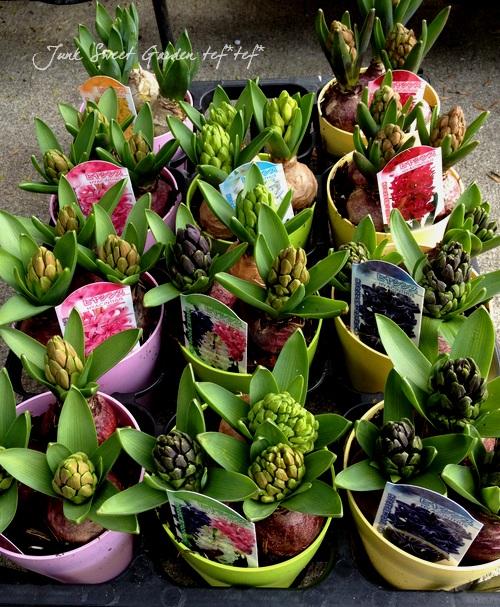 <i>Hyacinthus orientalis</i><BR><BR>芽だし球根3球植え<BR>『ヒヤシンス』【レッド】