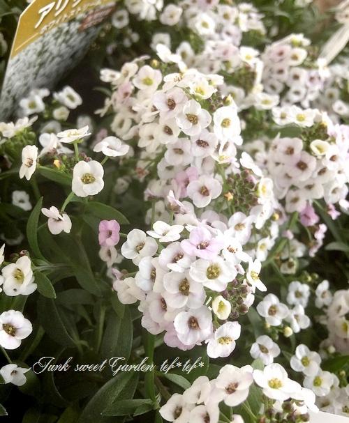 <i>Lobularia hybrid</i><BR><BR>強靭スーパーアリッサム<BR>『ホワイトストリーム』
