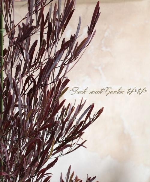 <i>Dodonaea viscosa</i><BR><BR>ドドナエア・ヴィスコサ<BR>小葉品種『リトルファイヤー』
