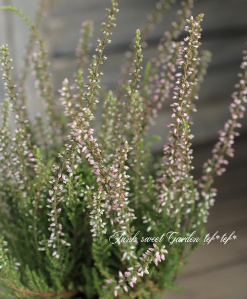 <i>Calluna vulgaris</i><BR><BR>カルーナ<BR>『ガーデンガールズ』<BR>『グリーン×ホワイトピンク花』 C